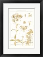 Framed Golden Phlox on White