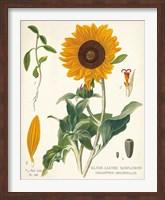 Framed Sunflower Chart on Ivory