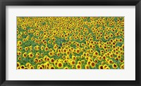 Framed Sunflower field, France