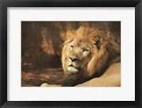 Framed Tribal Lion