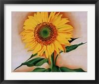 Framed Sunflower from Maggie, 1937