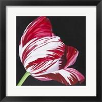 Framed Broken Tulip