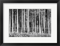 Framed Colorado Aspen BW