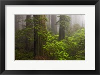 Framed Redwoods Fog