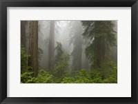 Framed Redwoods NP Fog