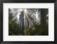 Framed Redwoods NP Ladybird Johnson Lightbeam