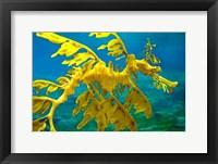 Framed Sea Dragon