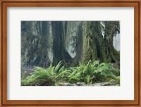 Framed Washington Olympic NP Foggy Ferns