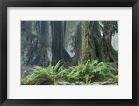Framed Washington Olympic NP Foggy Ferns