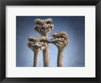 Framed Ostrich Trio