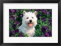 Framed West Highland Terrier Sitting In Petunias