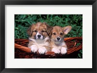 Framed Two Welsh Corgi Puppies In Basket