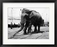 Framed 1930s Circus Elephant Draped In Chains