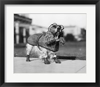 Framed 1930s Cocker Spaniel Wearing Glasses