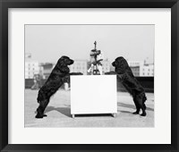 Framed 1930s Two Black Cocker Spaniels Standing