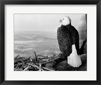 Framed Museum Setting View Of Bald Eagle