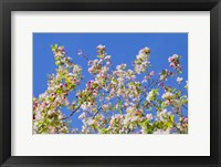 Framed Spring Apple Blossom