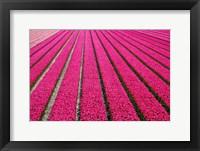 Framed Tulip Field Hot Pink