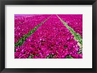 Framed Tulip Field Red Violet