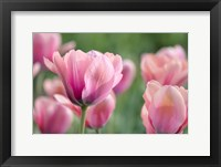 Framed Pink Tulips