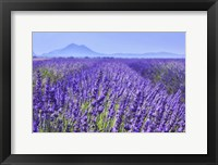 Framed Lavender Field Close Up