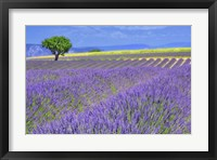 Framed Lavender Fields with Tree