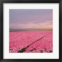 Framed Pink Tulip Fields