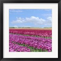 Framed Violet Tulip Fields