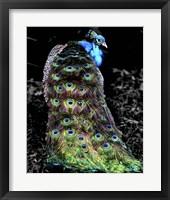 Framed Peacock at Night