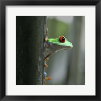 Framed Red Eyed Tree Frog