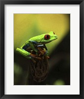 Framed Tree Frog