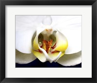 Framed Dove Orchid
