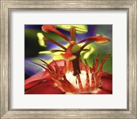 Framed Red Watter Lilly