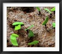 Framed Tee Cutter Ants