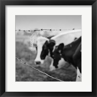 Framed Holstein Cow