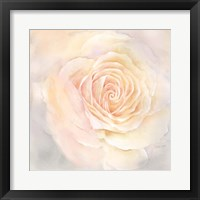 Framed Blush Rose Closeup III