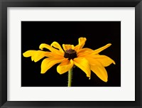 Framed Black Eyed Susan III
