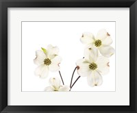 Framed Dogwood Garland