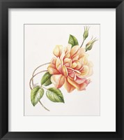 Framed Peach Rose 11