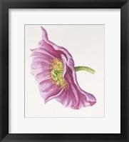 Framed Purple Poppy