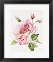 Framed Single Rose 3