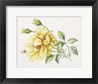 Framed Yellow Rose 10