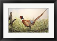 Framed Glorious Pheasant