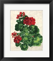 Framed Red Geranium