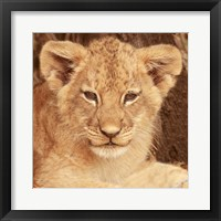 Framed Lion Cub