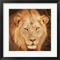 Framed Lion Up Close