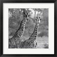 Framed Pair of Giraffes