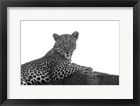 Framed Leopard in Black and White