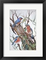 Framed Bluebirds at Rest