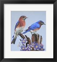 Framed Eastern Bluebird Duo